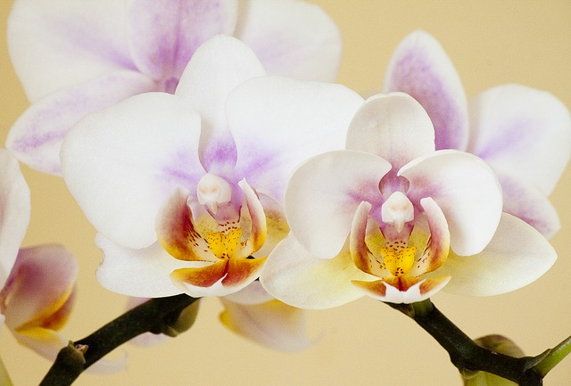 orchid-186453_640